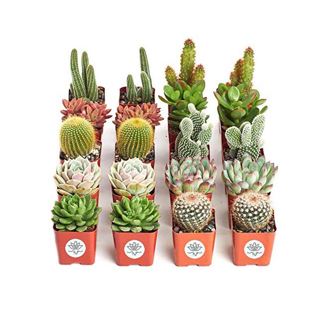 خرید و قیمت پک کاکتوس جمع مستان سفارش کاکتوس از بازار آنلاین گل ایرانی سفارش کاکتوس ارزان