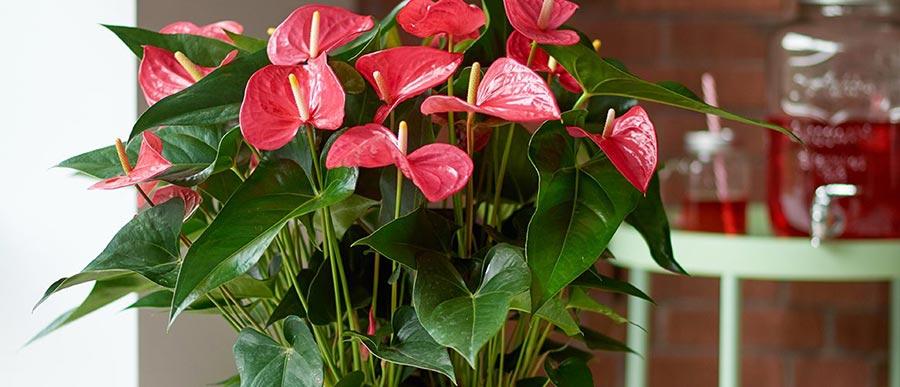 گلدان آنتوریوم ارزان